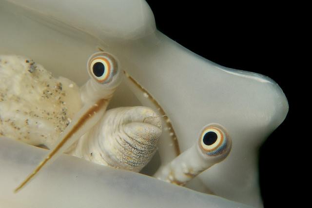 crabmam