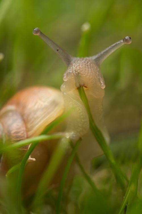 snail grass